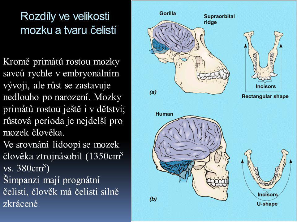 Rozdíly ve velikosti mozku a tvaru čelistí Kromě primátů rostou mozky savců rychle v embryonálním vývoji, ale růst se zastavuje nedlouho po narození.