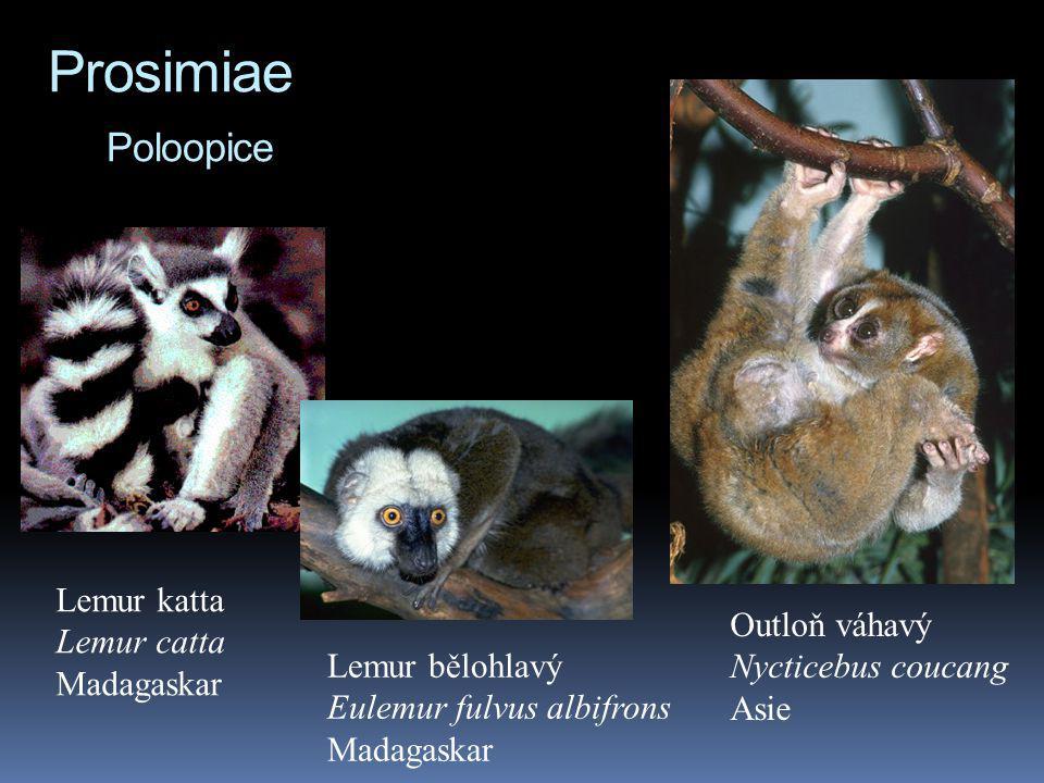 Prosimiae Poloopice Lemur katta Lemur catta Madagaskar Outloň váhavý Nycticebus coucang Asie Lemur bělohlavý Eulemur fulvus albifrons Madagaskar