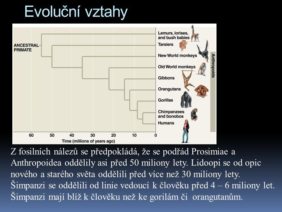 Evoluční vztahy Z fosilních nálezů se předpokládá, že se podřád Prosimiae a Anthropoidea oddělily asi před 50 miliony lety. Lidoopi se od opic nového