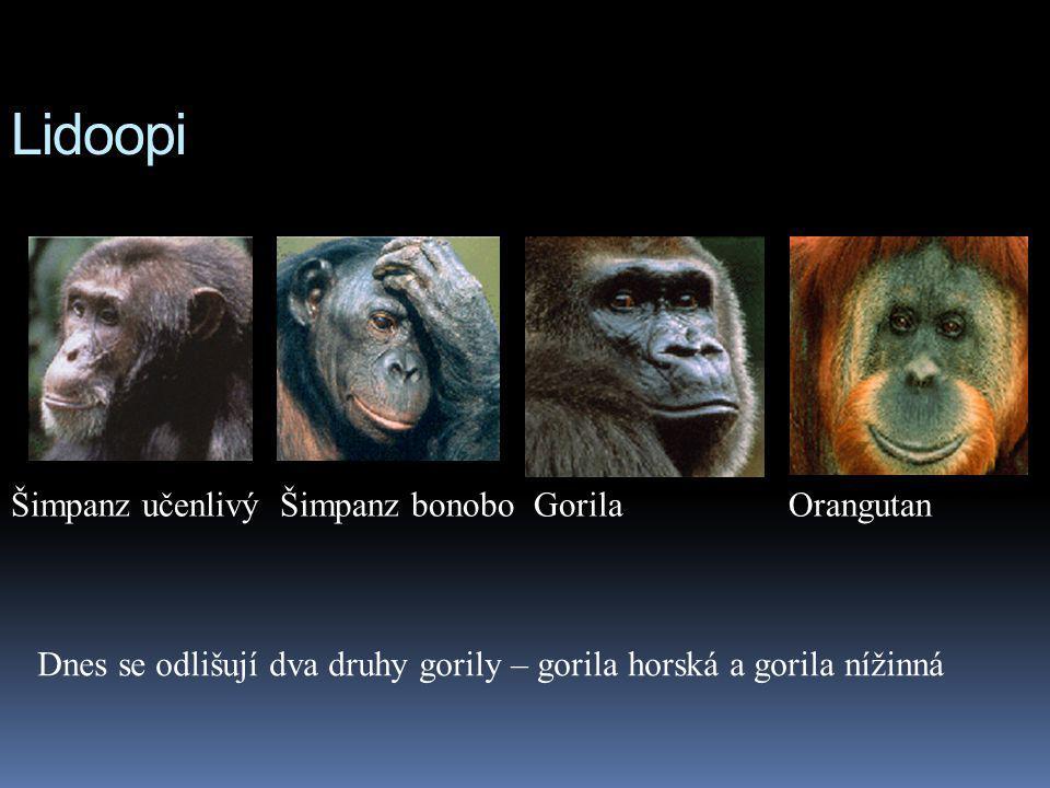 Lidoopi Šimpanz učenlivý Šimpanz bonobo Gorila Orangutan Dnes se odlišují dva druhy gorily – gorila horská a gorila nížinná