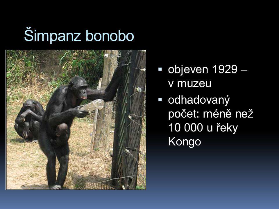 Šimpanz bonobo  objeven 1929 – v muzeu  odhadovaný počet: méně než 10 000 u řeky Kongo