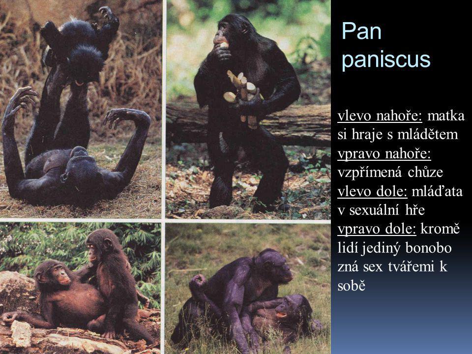 Pan paniscus vlevo nahoře: matka si hraje s mládětem vpravo nahoře: vzpřímená chůze vlevo dole: mláďata v sexuální hře vpravo dole: kromě lidí jediný