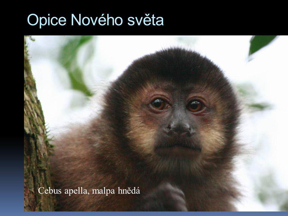 Opice Nového světa Cebus apella, malpa hnědá