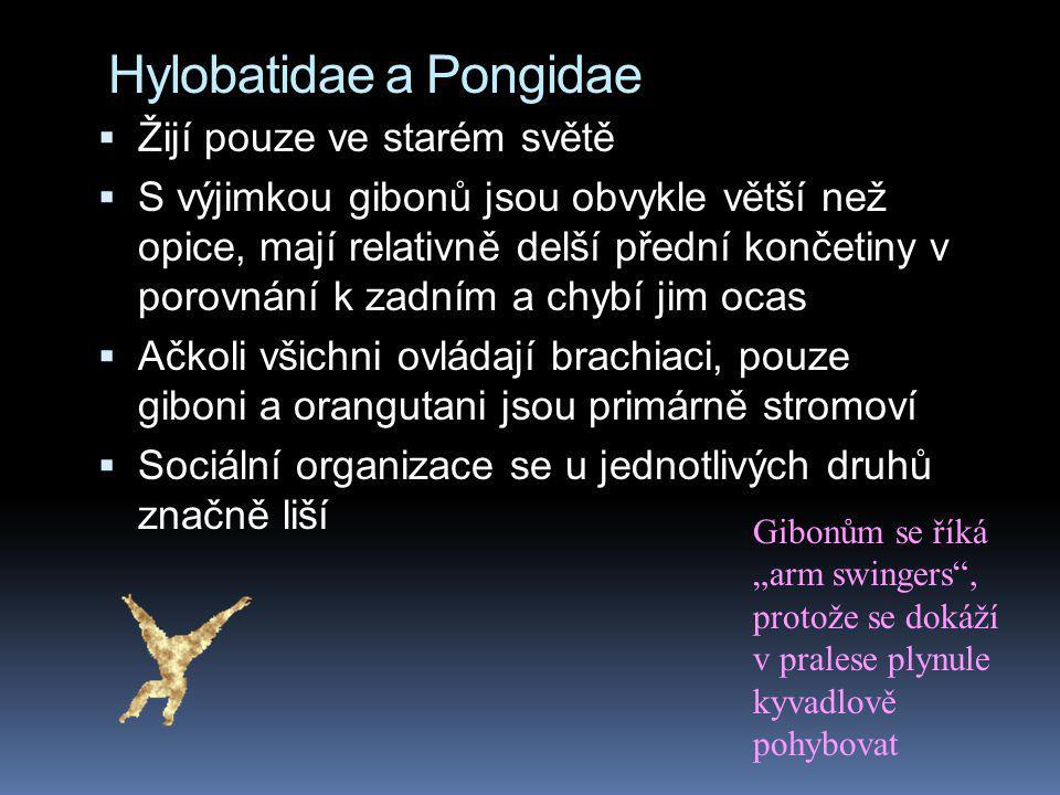 Hylobatidae a Pongidae  Žijí pouze ve starém světě  S výjimkou gibonů jsou obvykle větší než opice, mají relativně delší přední končetiny v porovnán