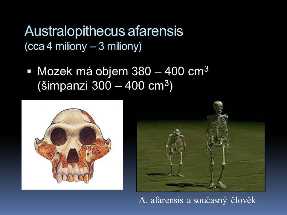 Australopithecus afarensis (cca 4 miliony – 3 miliony)  Mozek má objem 380 – 400 cm 3 (šimpanzi 300 – 400 cm 3 ) A. afarensis a současný člověk