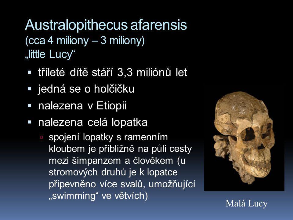 """Australopithecus afarensis (cca 4 miliony – 3 miliony) """"little Lucy""""  tříleté dítě stáří 3,3 miliónů let  jedná se o holčičku  nalezena v Etiopii """