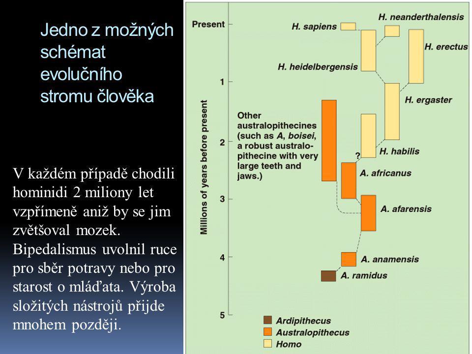 Jedno z možných schémat evolučního stromu člověka V každém případě chodili hominidi 2 miliony let vzpřímeně aniž by se jim zvětšoval mozek. Bipedalism