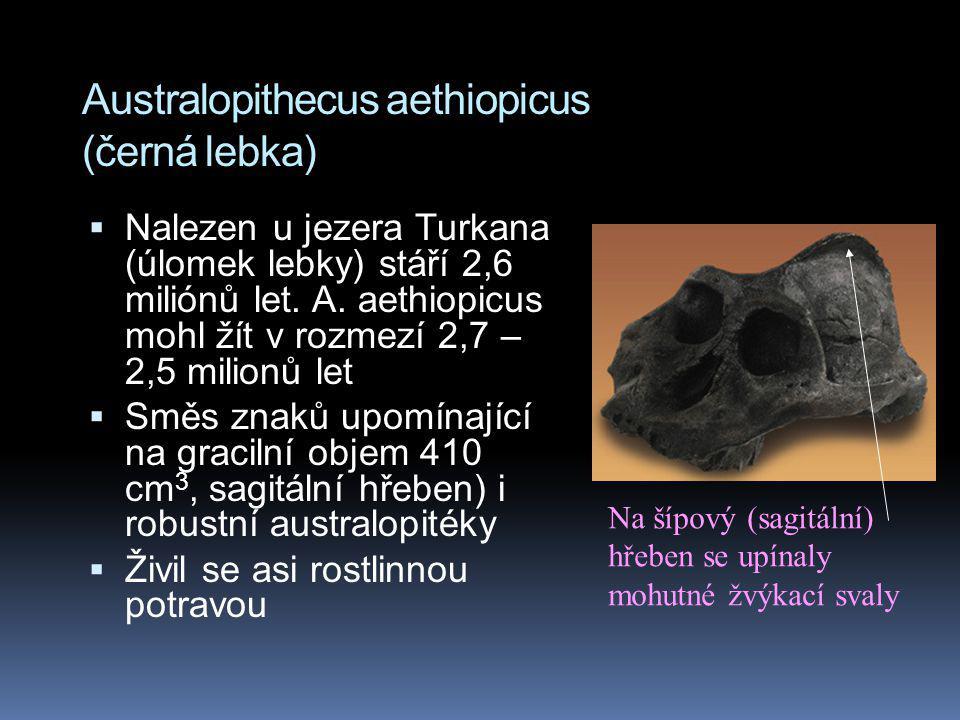 Australopithecus aethiopicus (černá lebka)  Nalezen u jezera Turkana (úlomek lebky) stáří 2,6 miliónů let. A. aethiopicus mohl žít v rozmezí 2,7 – 2,