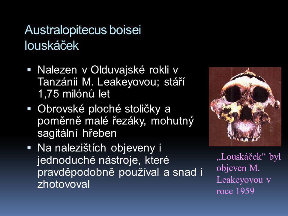 Australopitecus boisei louskáček  Nalezen v Olduvajské rokli v Tanzánii M. Leakeyovou; stáří 1,75 milónů let  Obrovské ploché stoličky a poměrně mal