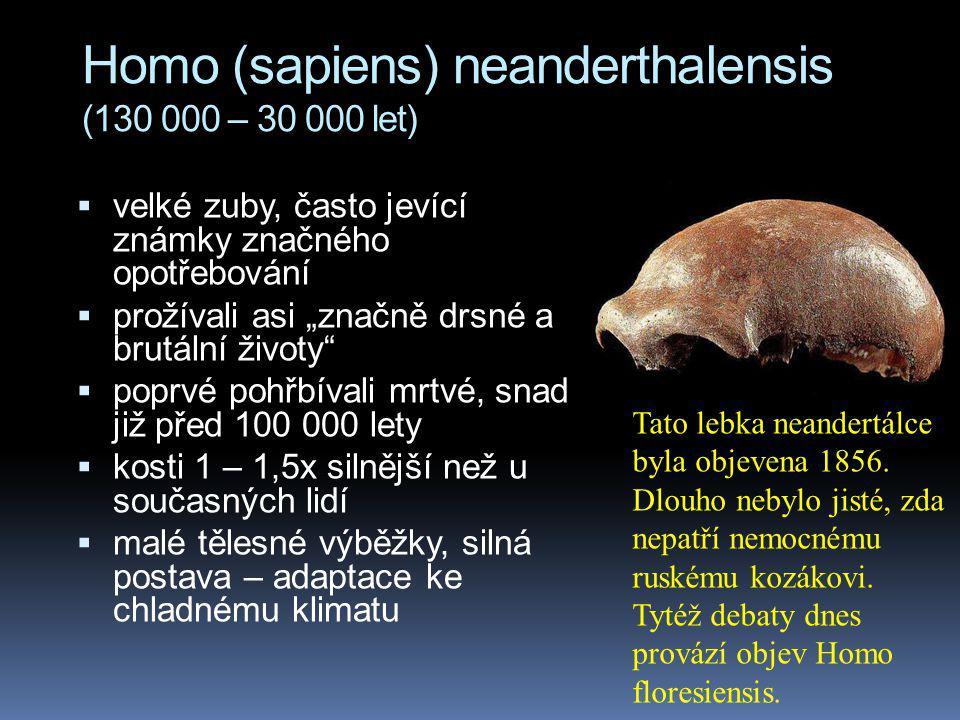 """Homo (sapiens) neanderthalensis (130 000 – 30 000 let)  velké zuby, často jevící známky značného opotřebování  prožívali asi """"značně drsné a brutáln"""