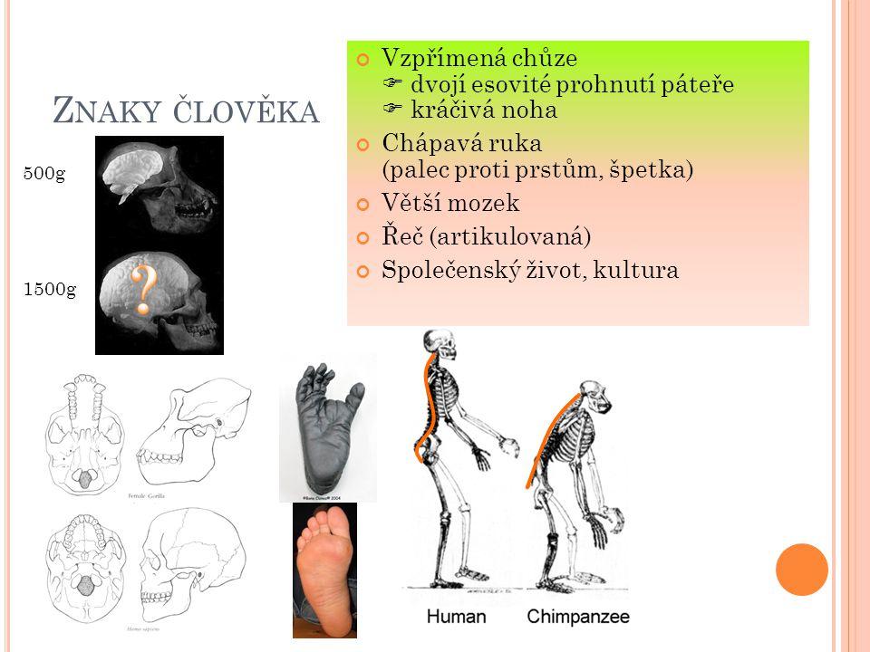 Z NAKY ČLOVĚKA Vzpřímená chůze  dvojí esovité prohnutí páteře  kráčivá noha Chápavá ruka (palec proti prstům, špetka) Větší mozek Řeč (artikulovaná)