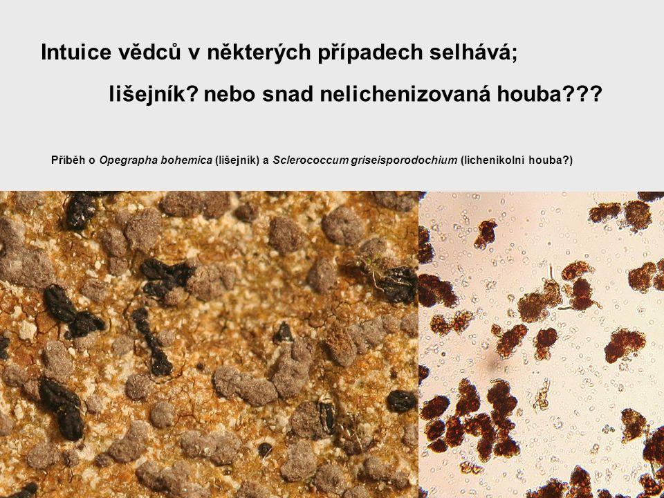 Intuice vědců v některých případech selhává; lišejník? nebo snad nelichenizovaná houba??? Příběh o Opegrapha bohemica (lišejník) a Sclerococcum grisei