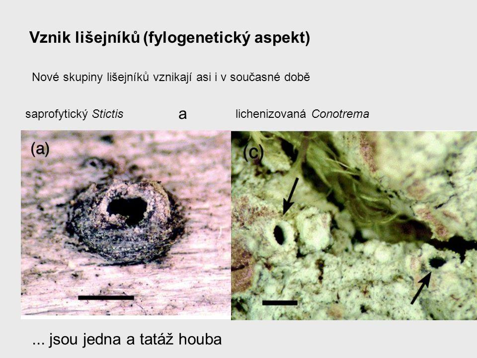Vznik lišejníků (fylogenetický aspekt) Nové skupiny lišejníků vznikají asi i v současné době saprofytický Stictislichenizovaná Conotrema... jsou jedna