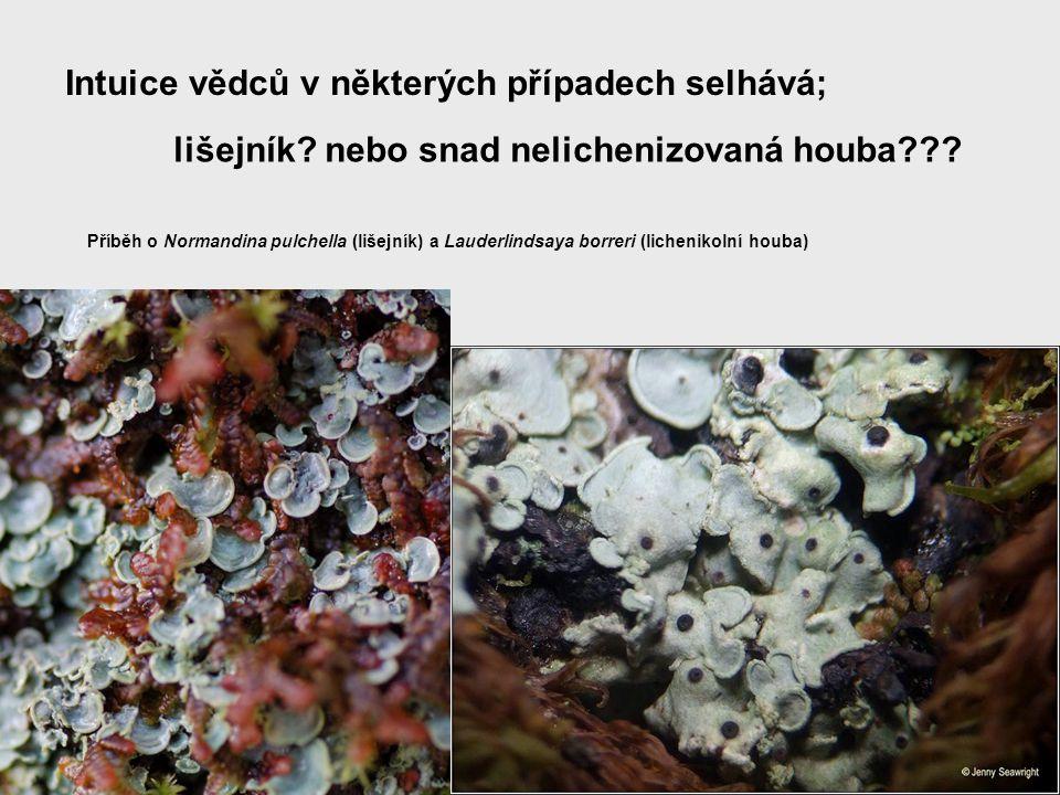 Intuice vědců v některých případech selhává; lišejník? nebo snad nelichenizovaná houba??? Příběh o Normandina pulchella (lišejník) a Lauderlindsaya bo