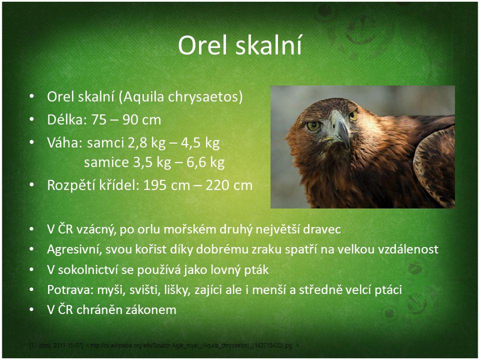 Orel skalní Orel skalní (Aquila chrysaetos) Délka: 75 – 90 cm Váha: samci 2,8 kg – 4,5 kg samice 3,5 kg – 6,6 kg Rozpětí křídel: 195 cm – 220 cm V ČR vzácný, po orlu mořském druhý největší dravec Agresivní, svou kořist díky dobrému zraku spatří na velkou vzdálenost V sokolnictví se používá jako lovný pták Potrava: myši, svišti, lišky, zajíci ale i menší a středně velcí ptáci V ČR chráněn zákonem [1 - zdroj.
