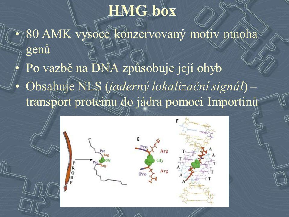 HMG box 80 AMK vysoce konzervovaný motiv mnoha genů Po vazbě na DNA způsobuje její ohyb Obsahuje NLS (jaderný lokalizační signál) – transport proteinu