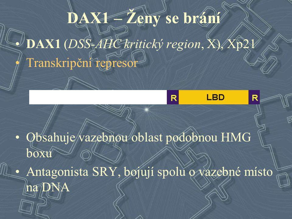DAX1 – Ženy se brání DAX1 (DSS-AHC kritický region, X), Xp21 Transkripční represor Obsahuje vazebnou oblast podobnou HMG boxu Antagonista SRY, bojují