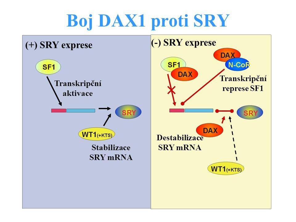 Boj DAX1 proti SRY (+) SRY exprese Transkripční aktivace Stabilizace SRY mRNA (-) SRY exprese Transkripční represe SF1 Destabilizace SRY mRNA