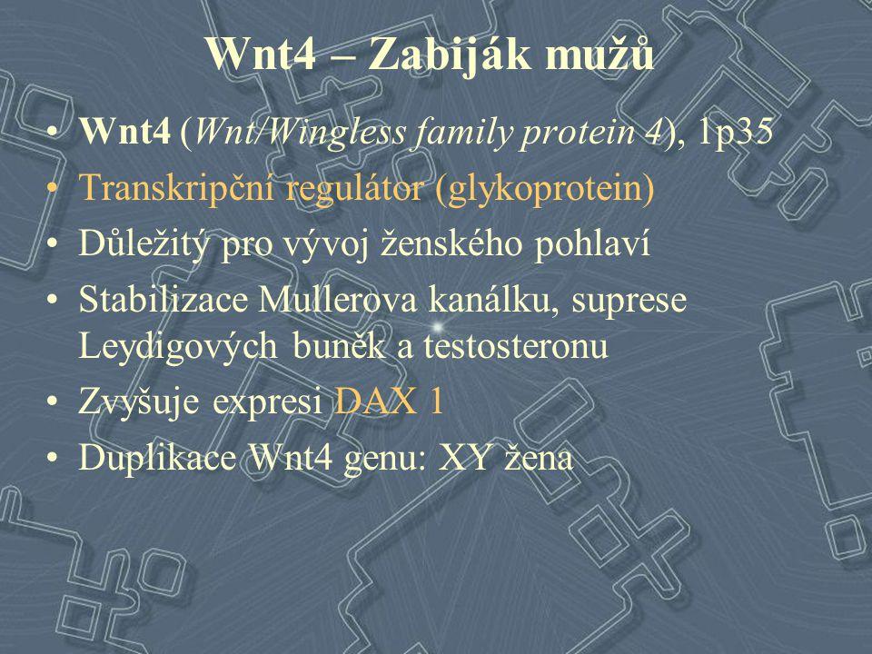 Wnt4 – Zabiják mužů Wnt4 (Wnt/Wingless family protein 4), 1p35 Transkripční regulátor (glykoprotein) Důležitý pro vývoj ženského pohlaví Stabilizace M