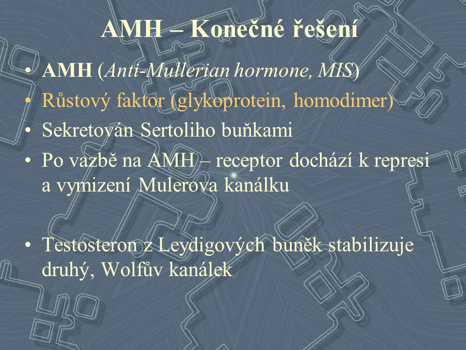 AMH – Konečné řešení AMH (Anti-Mullerian hormone, MIS) Růstový faktor (glykoprotein, homodimer) Sekretován Sertoliho buňkami Po vazbě na AMH – recepto