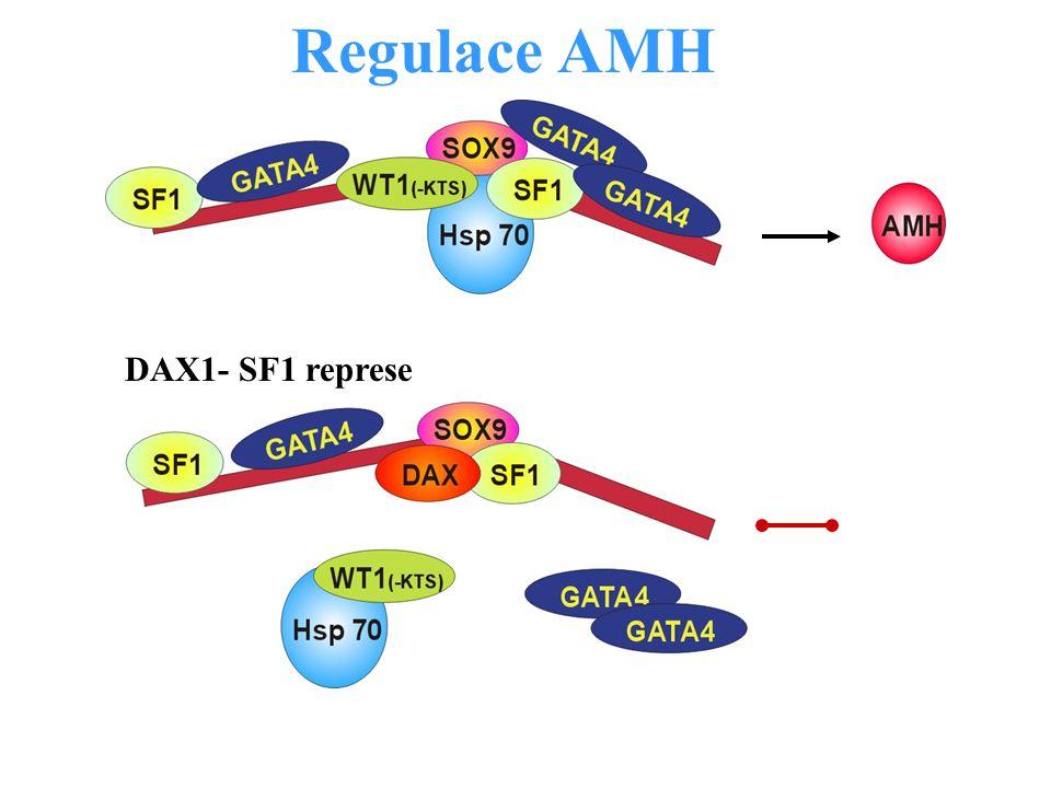Regulace AMH DAX1- SF1 represe
