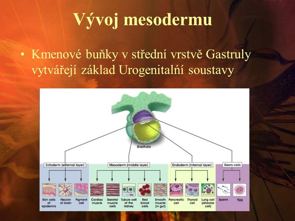 Vývoj mesodermu Kmenové buňky v střední vrstvě Gastruly vytvářejí základ Urogenitalńí soustavy
