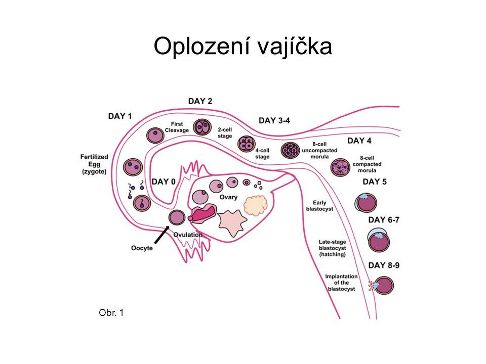 Oplození vajíčka splynutí spermie s vajíčkem životnost spermií v ženském pohlavním ústrojí cca 1 - 2 dny vajíčko je schopné oplodnění asi v průběhu 20 hodin po ovulaci největší pravděpodobnost oplození vajíčka – mezi 12-16 dnem 28-denního menstruačního cyklu splynout s vajíčkem může vždy jen jedna spermie po proniknutí spermie do vajíčka – změny na povrchu vajíčka zabrání průniku dalších spermií oplozené vajíčko se začíná ihned dělit - rýhovat