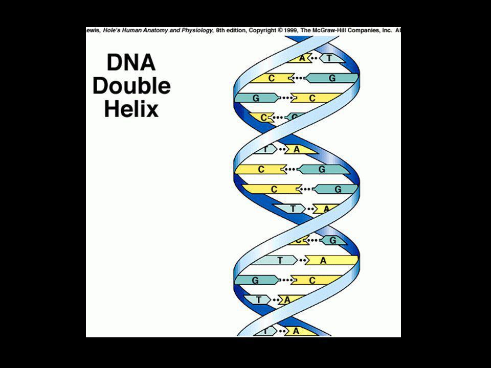 DNA - struktura Základním stavebním kamenem DNA je NUKLEOTID, jehož stavebními prvky jsou dusíkatá báze, cukr (pentóza) a zbytky kyseliny fosforečné Dusíkaté báze se spojují do párů A-T a C-G
