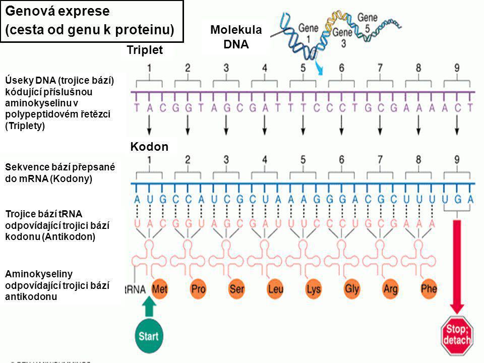 """DNA - funkce DNA RNA Protein Transkripce Translace Replikace Enzym helikáza rozplete úsek dvoušroubovice o délce 1 000 nukleotidů Enzym DNA polymeráza ke každému z nukleotidů starého řetězce připojí příslušný nukleotid nového řetězce Enzym DNA ligáza připojí poslední úsek nového řetězce k předchozímu, DNA helikáza rozplete další část starého řetězce DNA - replikace Kódující řetězec RNA polymeráza RNA - DNA hybridní helix mRNA DNA - Transkripce Přepis DNA na mRNA - enzym RNA polymeráza párování: DNA ATCG m RNAUAGC DNA - translace mRNA (messenger) - nese """"plán proteinu tRNA (transfer) - doprava aminokyselin do ribozómu Aminokyselina Narůstající polypeptidový řetězec Antikodon - trojice bází kompatibilní s bázemi kodonu Kodon Úseky DNA (trojice bází) kódující příslušnou aminokyselinu v polypeptidovém řetězci (Triplety) Triplet Sekvence bází přepsané do mRNA (Kodony) Kodon Trojice bází tRNA odpovídající trojici bází kodonu (Antikodon) Aminokyseliny odpovídající trojici bází antikodonu Molekula DNA Genová exprese (cesta od genu k proteinu)"""