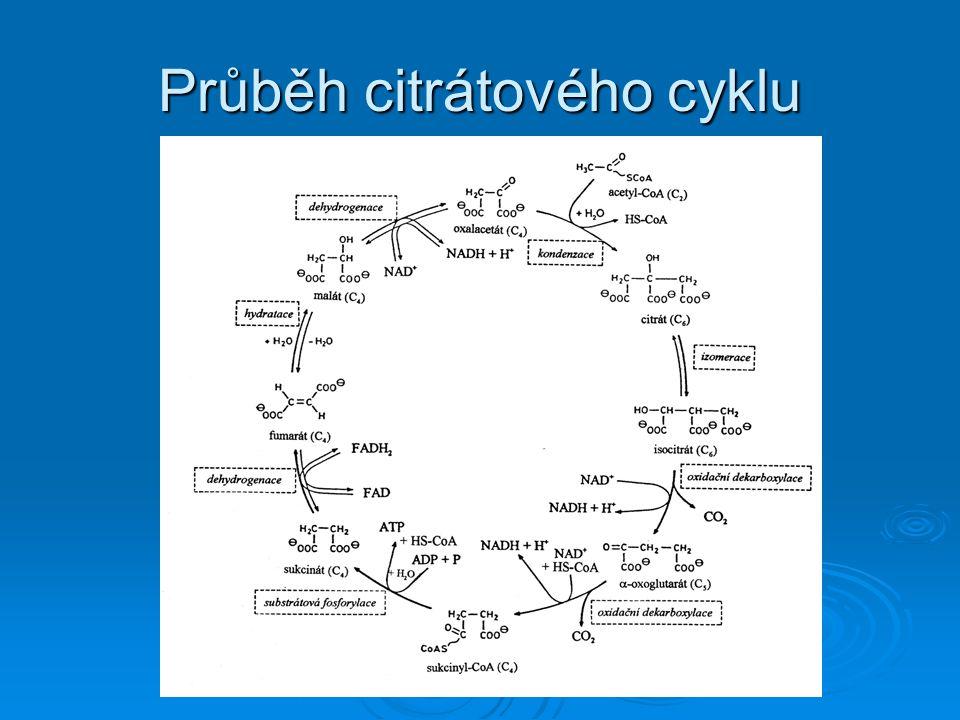 Energetika citrátového cyklu CH 3 -CO~S-CoA + 3H 2 O → 2CO 2 + 8H + HS-CoA  energetický význam je malý (vzniká jen jedna makroergní vazba GTP)  význam spočívá v napojení na dýchací řetěz v němž se oxidují redukované koenzymy  oxidací jedné molekuly NADH vznikají 3 ATP, oxidací FADH 2 2 ATP