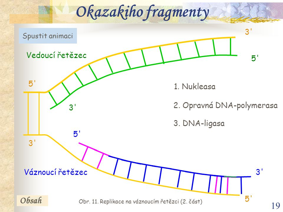 19 Vedoucí řetězec Váznoucí řetězec 5' 3' 5' 3' 3. DNA-ligasa 1. Nukleasa 2. Opravná DNA-polymerasa Spustit animaci Obsah Okazakiho fragmenty Obr. 11.