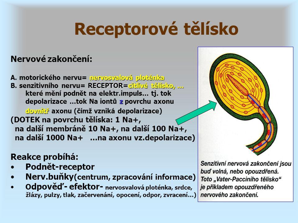 Nervové zakončení: nervosvalová ploténka A. motorického nervu= nervosvalová ploténka RECEPTOR=citlivé tělísko, … z dovnitř B. senzitivního nervu= RECE
