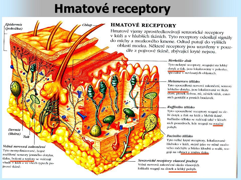 Chemické receptory chemické čití, (čich a chuť) Čichovým Čichovým orgánem je plocha 3cm2 v horní třetině nosní přepážky a ve stropu nosní dutiny vlásková -čichovým receptorem je vlásková buňka ------------------------------------------------- Chuťovým Chuťovým orgánem je 9000 chuťových pohárků, rozptýlených na jazyku a v dutině ústní chuťová -chuťovým receptorem je chuťová buňka