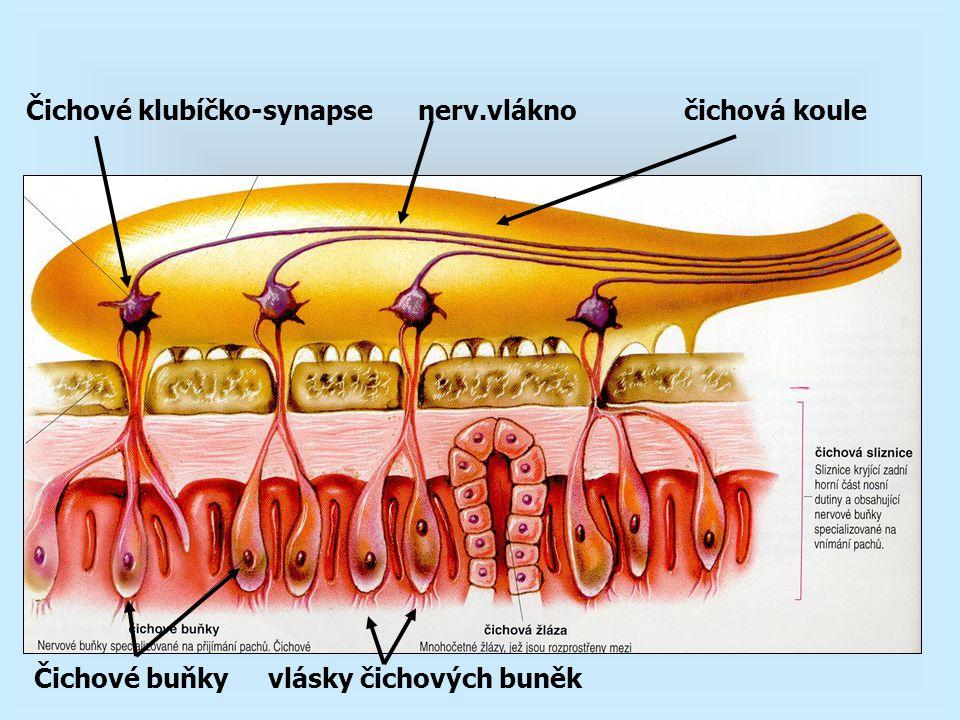 Čichové klubíčko-synapse nerv.vlákno čichová koule Čichové buňky vlásky čichových buněk