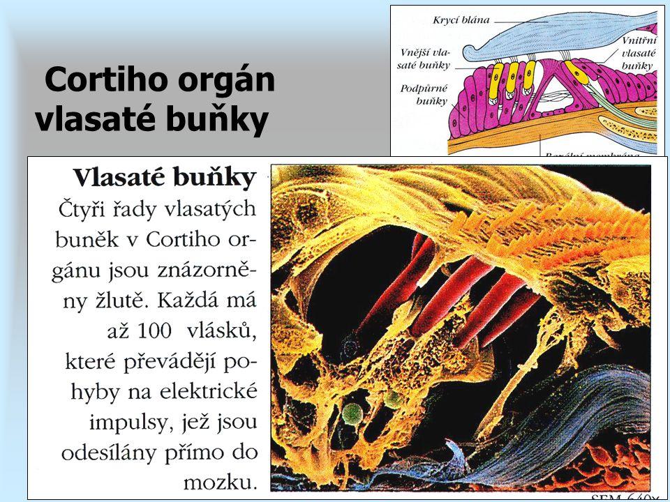 Cortiho orgán vlasaté buňky
