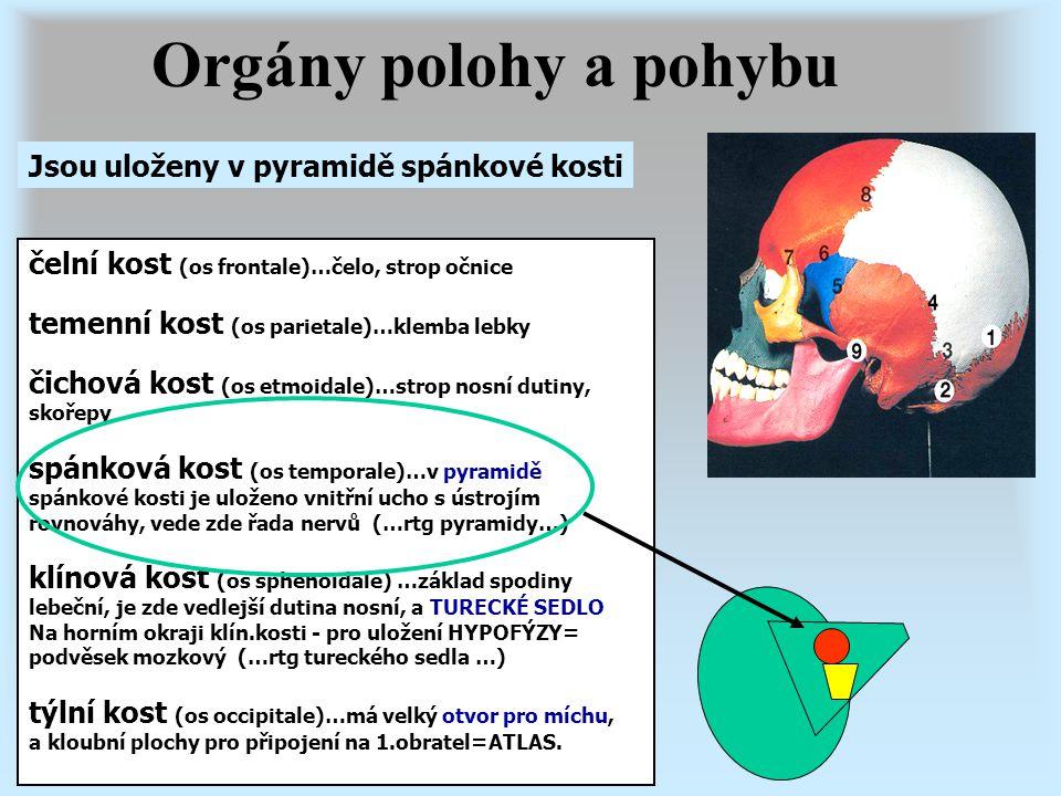 Orgány polohy a pohybu Poloha a pohyb jsou monitorovány řadou receptorů: - kožních, - svalových, šlachových, kloubních - vestibulárním ústrojím vnitřního ucha = nejdůležitější (předsíň vnitřního ucha) polokruhovité kanálky pohyb vnímají pohyb hlavy blanité váčky (utriculus a sacculus) polohu vnímají polohu hlavy