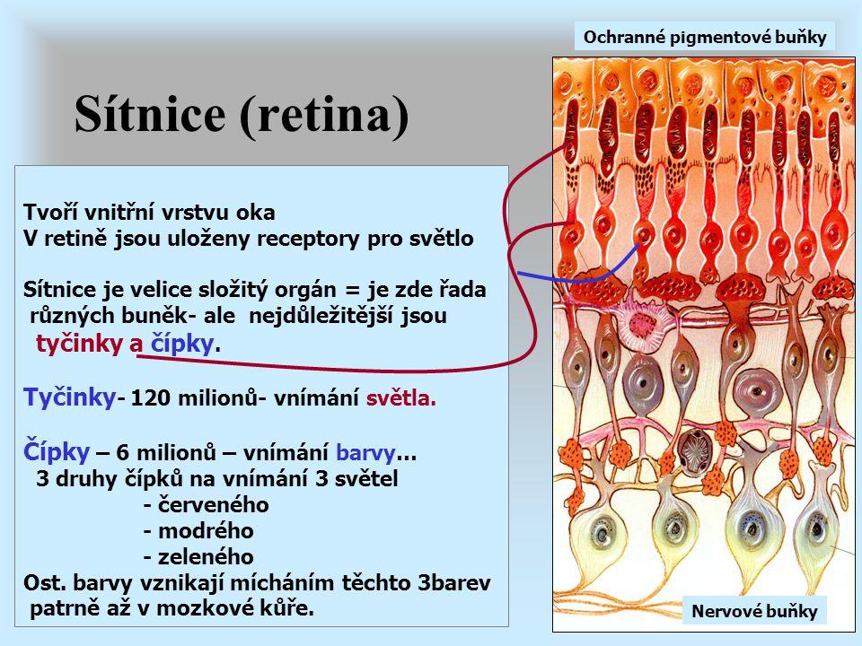 Sítnice (retina) Tvoří vnitřní vrstvu oka V retině jsou uloženy receptory pro světlo Sítnice je velice složitý orgán = je zde řada různých buněk- ale