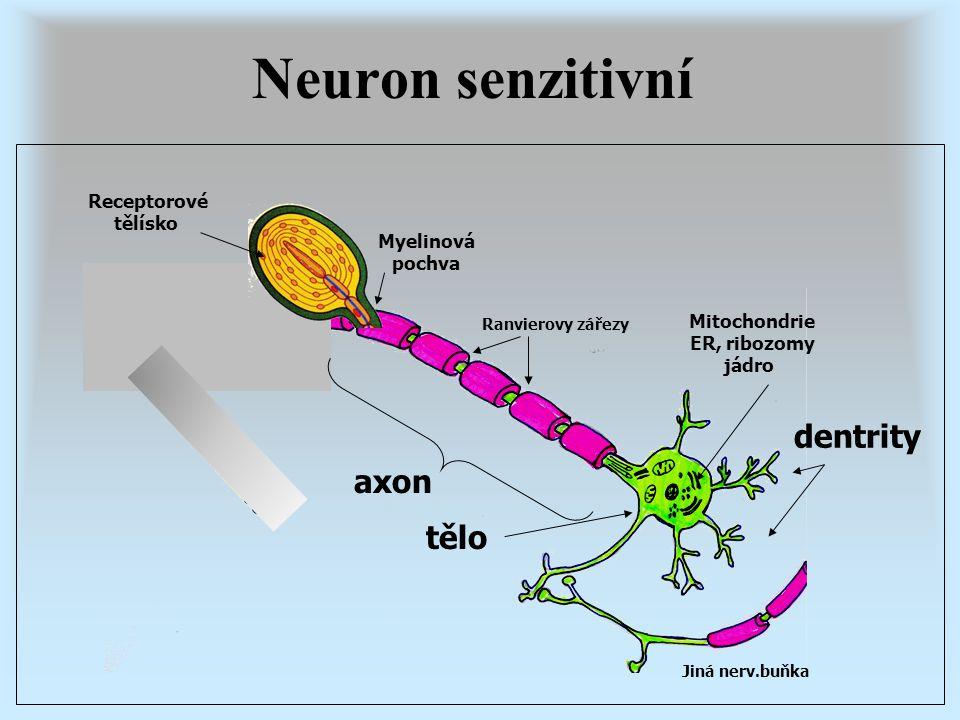 Jiná nerv.buňka Ranvierovy zářezy dentrity axon Myelinová pochva Mitochondrie ER, ribozomy jádro tělo Receptorové tělísko Neuron senzitivní
