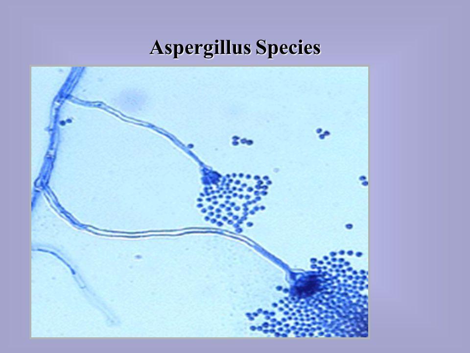 Aspergillus Species