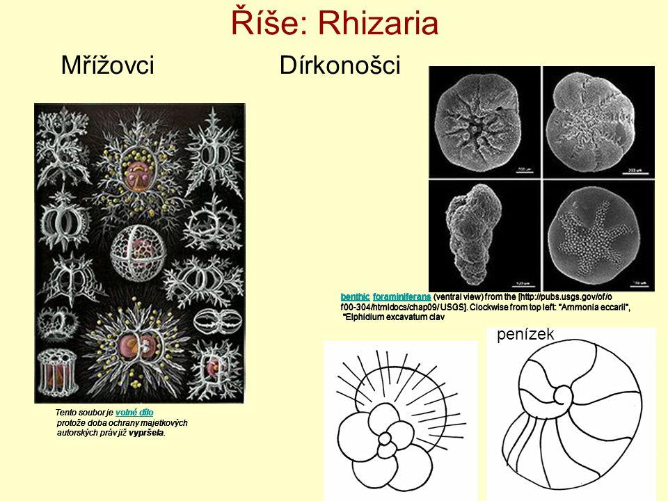 Říše: Rhizaria Mřížovci Dírkonošci benthicbenthic foraminiferans (ventral view) from the [http://pubs.usgs.gov/of/oforaminiferans f00-304/htmldocs/cha
