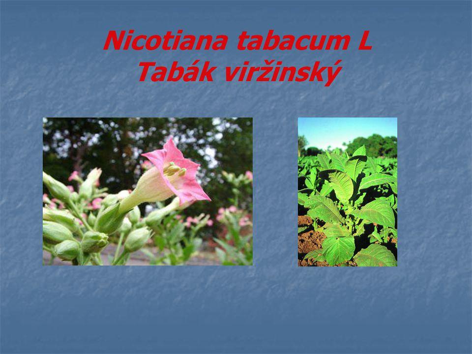 Nicotiana tabacum L Tabák viržinský