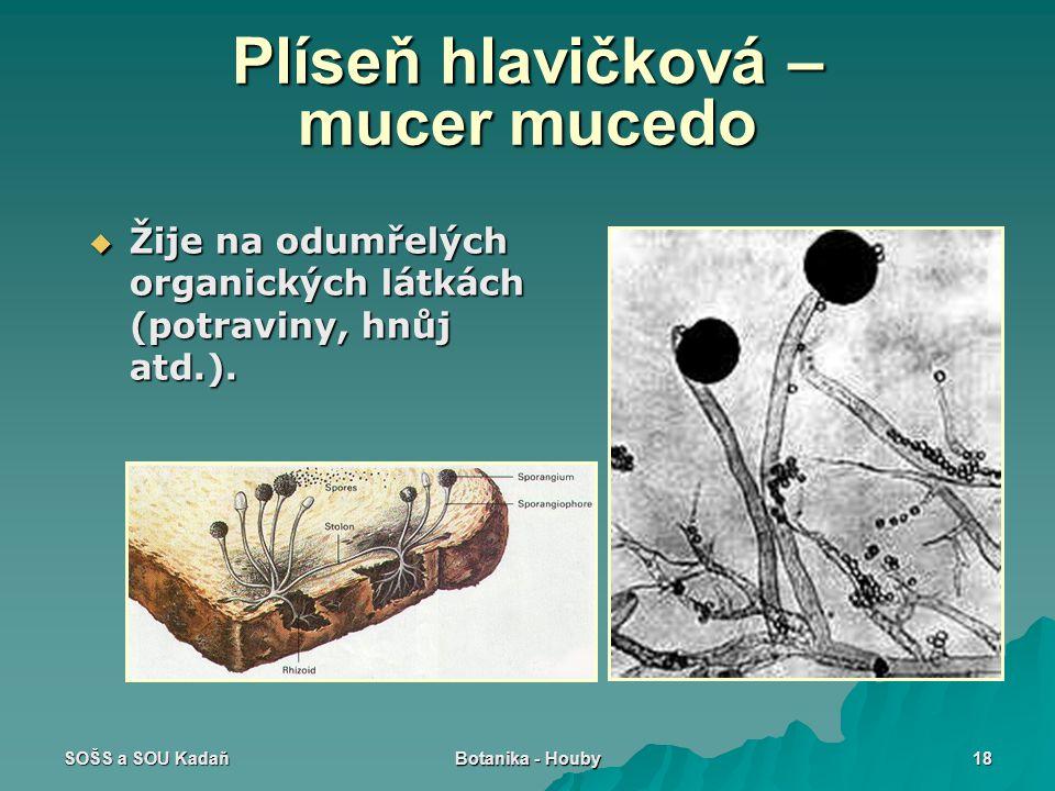 SOŠS a SOU Kadaň Botanika - Houby 18 Plíseň hlavičková – mucer mucedo  Žije na odumřelých organických látkách (potraviny, hnůj atd.).