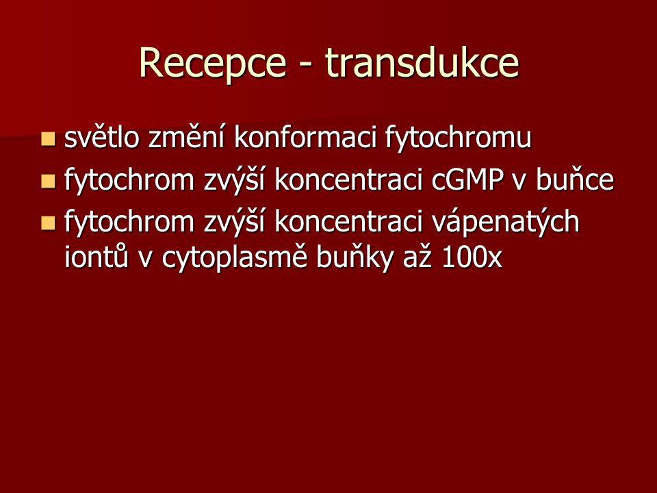 Recepce - transdukce světlo změní konformaci fytochromu světlo změní konformaci fytochromu fytochrom zvýší koncentraci cGMP v buňce fytochrom zvýší koncentraci cGMP v buňce fytochrom zvýší koncentraci vápenatých iontů v cytoplasmě buňky až 100x fytochrom zvýší koncentraci vápenatých iontů v cytoplasmě buňky až 100x