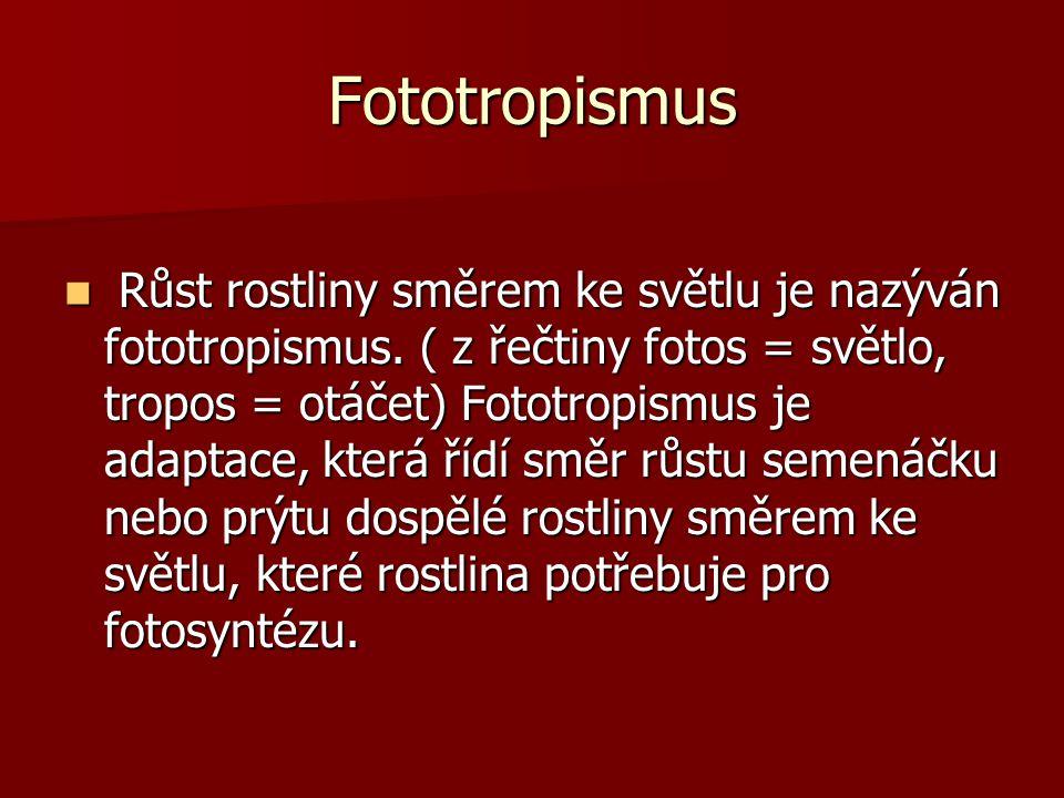 Fototropismus Růst rostliny směrem ke světlu je nazýván fototropismus. ( z řečtiny fotos = světlo, tropos = otáčet) Fototropismus je adaptace, která ř