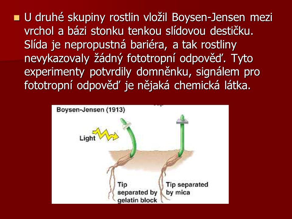 U druhé skupiny rostlin vložil Boysen-Jensen mezi vrchol a bázi stonku tenkou slídovou destičku. Slída je nepropustná bariéra, a tak rostliny nevykazo