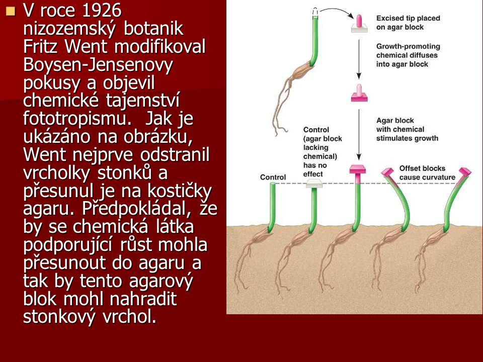 V roce 1926 nizozemský botanik Fritz Went modifikoval Boysen-Jensenovy pokusy a objevil chemické tajemství fototropismu. Jak je ukázáno na obrázku, We