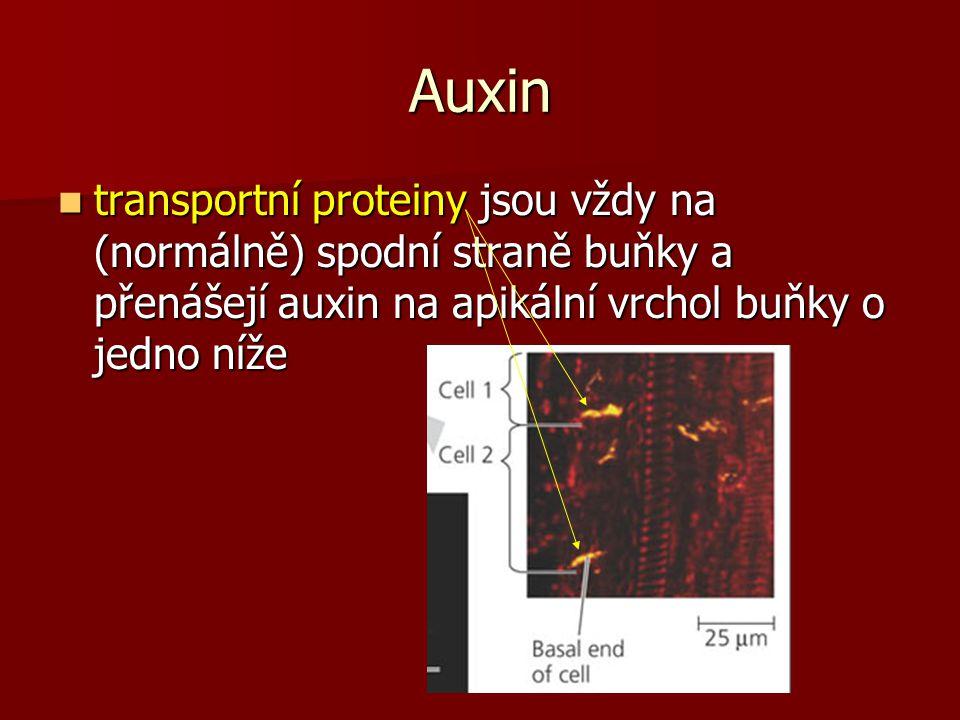 Auxin transportní proteiny jsou vždy na (normálně) spodní straně buňky a přenášejí auxin na apikální vrchol buňky o jedno níže transportní proteiny jsou vždy na (normálně) spodní straně buňky a přenášejí auxin na apikální vrchol buňky o jedno níže