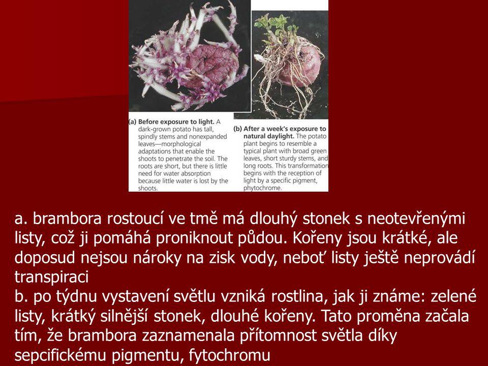 a.brambora rostoucí ve tmě má dlouhý stonek s neotevřenými listy, což ji pomáhá proniknout půdou.