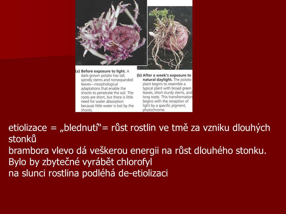 """etiolizace = """"blednutí = růst rostlin ve tmě za vzniku dlouhých stonků brambora vlevo dá veškerou energii na růst dlouhého stonku."""