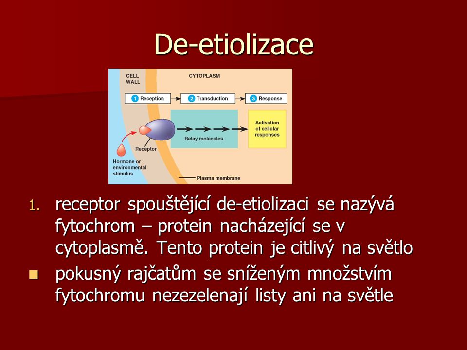 De-etiolizace 1. receptor spouštějící de-etiolizaci se nazývá fytochrom – protein nacházející se v cytoplasmě. Tento protein je citlivý na světlo poku